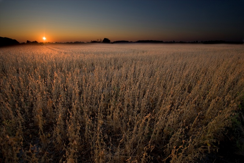 Soybean Field - Sunshine